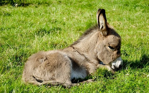 A sweet donkey foal is resting on green grass