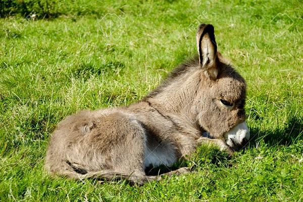 A sweet donkey foal is resting on green grass